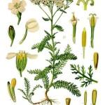 Achillea_millefolium_-_Köhler–s_Medizinal-Pflanzen-149